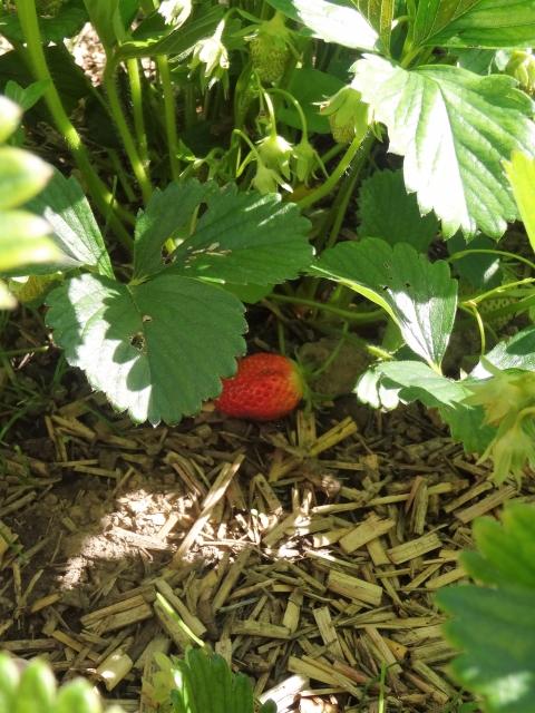 première fraise !